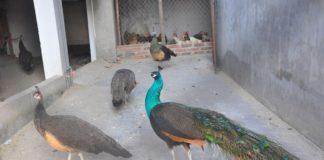 nuôi chim công