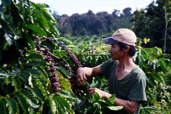 các loại bệnh dễ phổ biến ở từng giai đoạn sinh trưởng ở cây cà phê