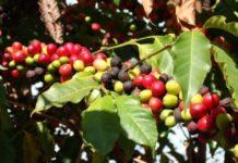 những loại sâu bệnh hay xuất hiện trên cây cà phê