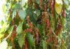 hồ tiêu rụng quả