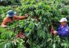cách để phục hồi nhanh chóng vườn cà phê sau thu hoạch