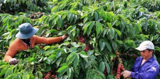 những cách để phục hồi nhanh chóng vườn cà phê sau thu hoạch