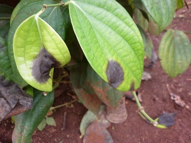 Các loại bệnh thường gặp trên cây hồ tiêu