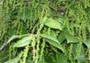 Những triệu chứng khi cây hồ tiêu bị thiếu chất dinh dưỡng