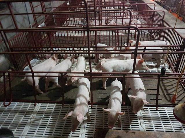 Tìm hiểu lý do thị trường lợn giảm giá thậm tệ