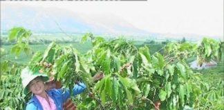 Cách tỉa cành nuôi trái tạo tán cà phê mới