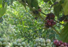 cây mắc ca và cà phê
