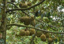 cây sầu riêng