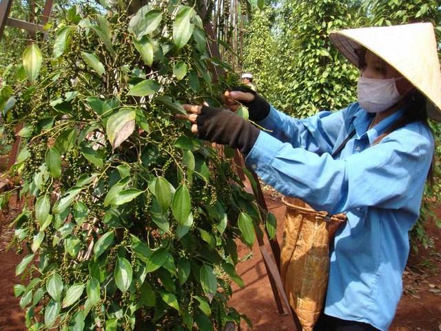 Thời gian thu hoạch và sơ chế tiêu đen