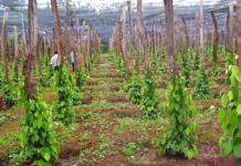 Kĩ thuật chăm sóc tiêu mới trồng