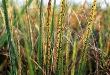 Bệnh khô vằn trên cây lúa
